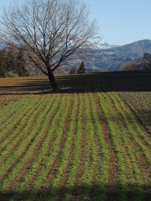 立屋・麦畑
