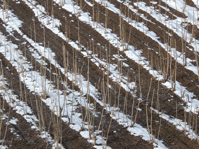 たらの芽畑の雪も溶け始め・・・
