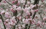 二反田の桜(4月10日)
