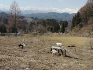 立屋アルプス山羊牧場