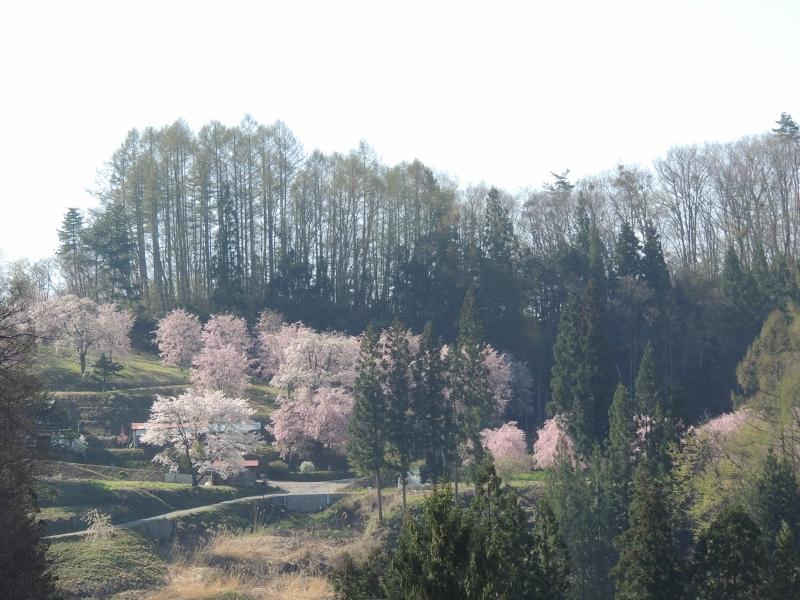 番所の桜遠景