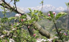 成就のリンゴの花も咲き始めました。