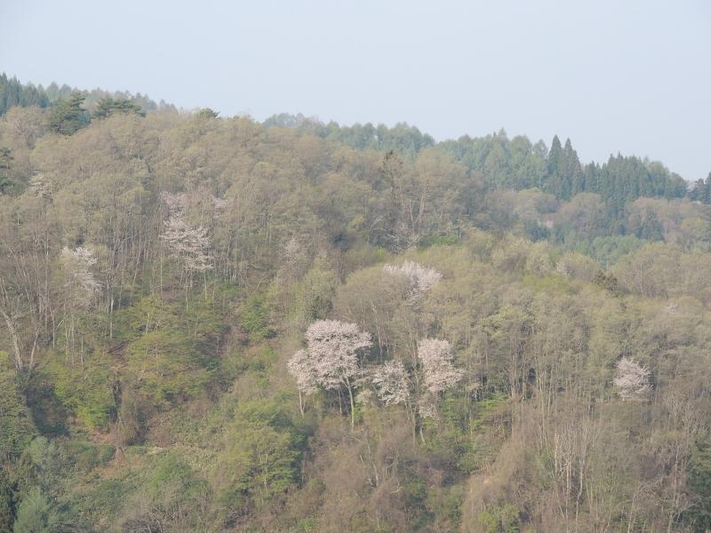 立屋の山桜