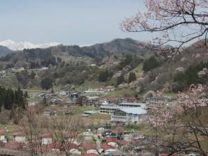 高附・上野の桜