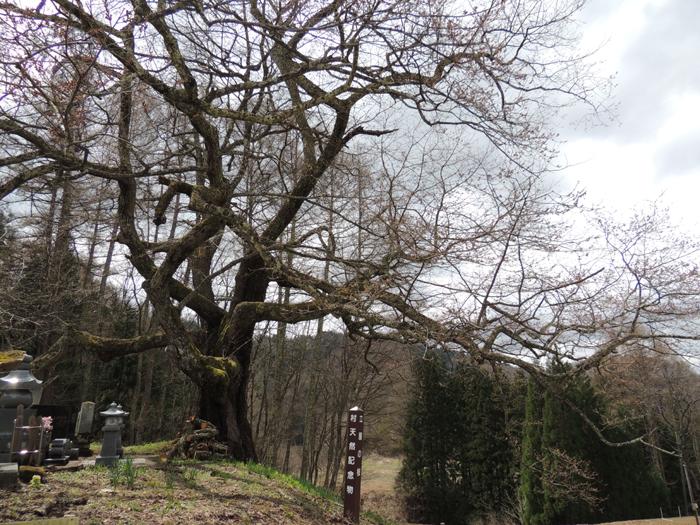 立屋の桜と番所の桜