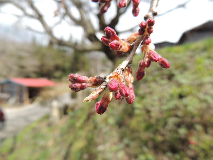 ※番所の桜