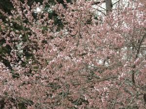 立屋の桜一部開花