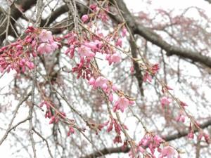 番所の桜一部花開く