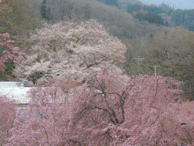 手前が番所の桜で奥が立屋の桜