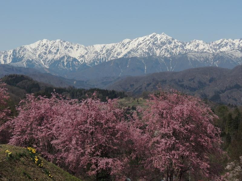 立屋展望広場の桜