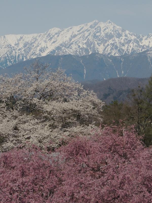 手前が番所の桜、奥が立屋の桜