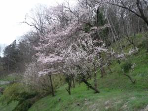 高附地区の桜
