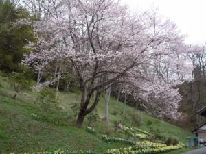 夏和・道の駅の桜