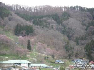 二反田の桜②