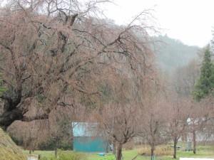 番所の桜木