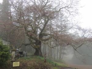 立屋の桜木