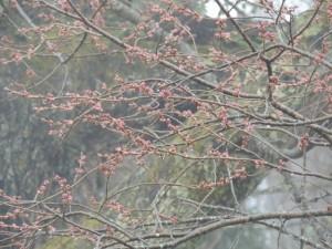 立屋の桜つぼみ